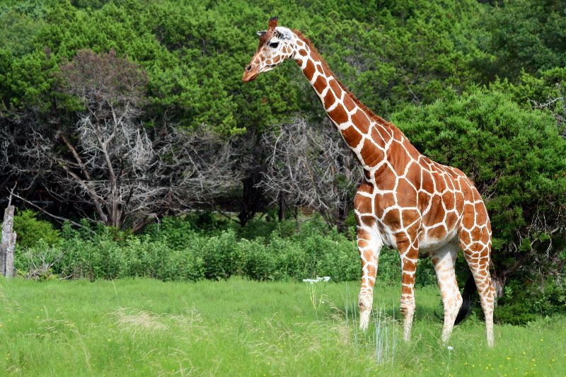 Adult Reticulated Giraffe