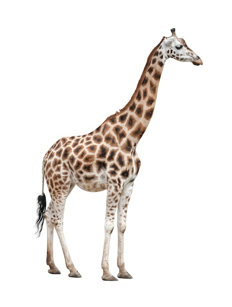 Información sobre la jirafa del Baringo o jirafa de Uganda.