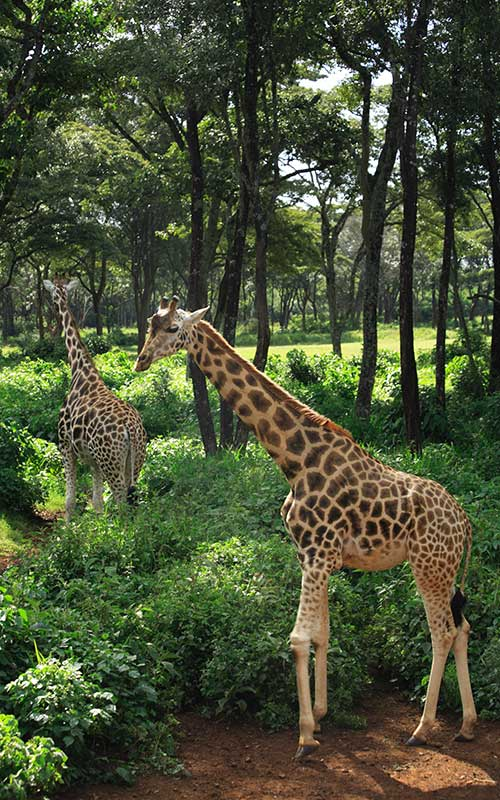 Information about Rothschild's Giraffes.