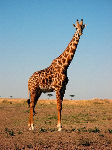 Beautiful Masai Giraffe Posing