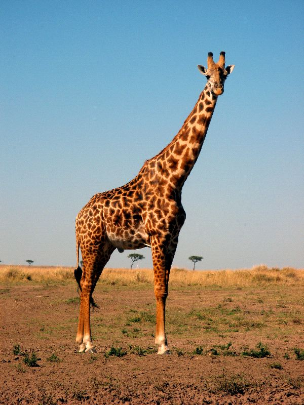 Beautiful_Masai_Giraffe_Posing_600.jpg