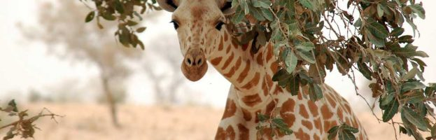 West African Giraffe (Giraffa camelopardalis peralta)