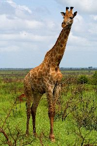 Giraffe Bull In The African Savanna