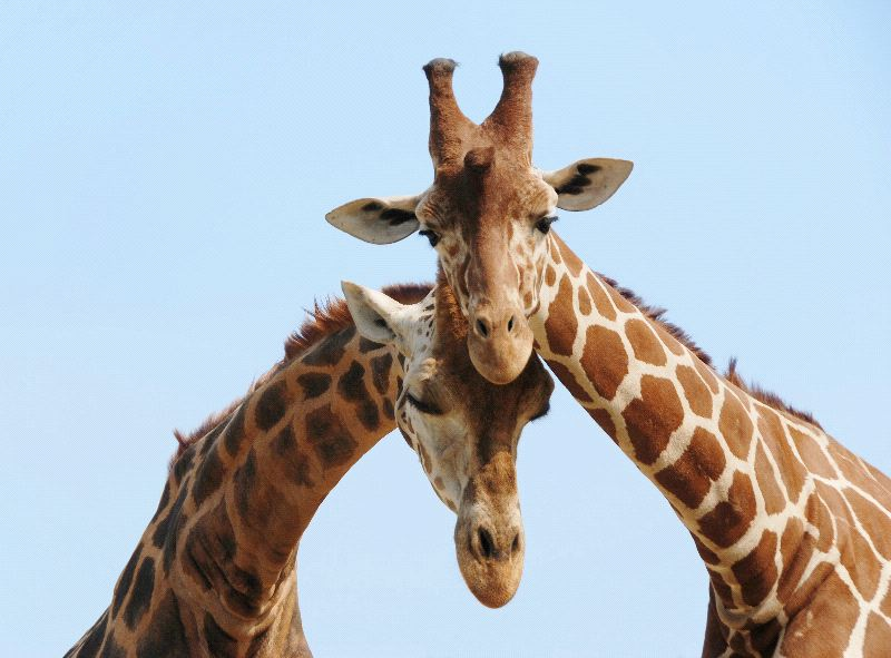 Giraffes In Love Giraffe Couple In Love