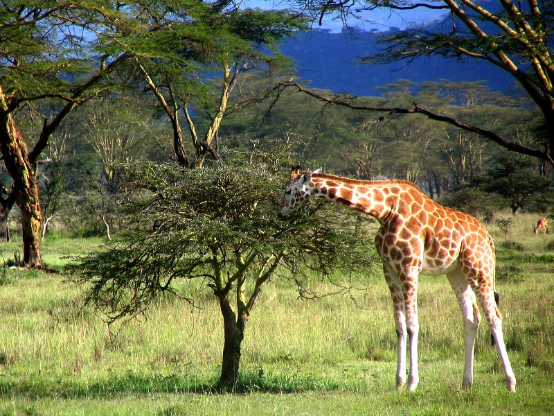 Giraffe Eating Leaves