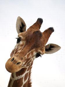 Giraffe Face Close-Up