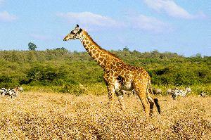 Giraffe In Savanna Biome
