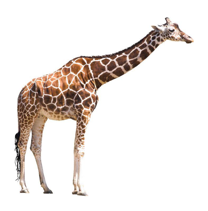 Giraffe On White Background - Giraffe Facts and Information
