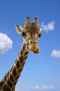 Giraffe with Blue Sky Background