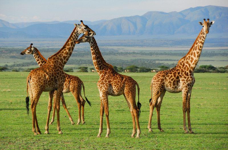 Giraffes_In_Their_Natural_Habitat_600.jpg