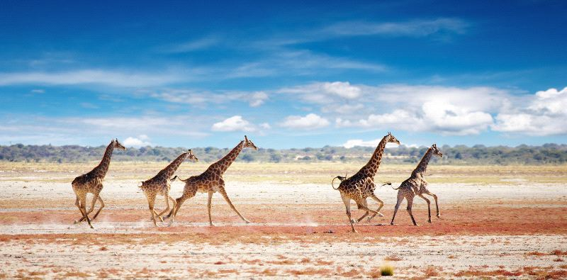 Herd Of Giraffes In African Savanna