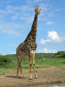 Large Giraffe In South Africa
