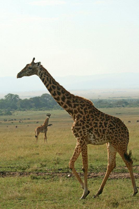 Masai Giraffe In Kenya National Park