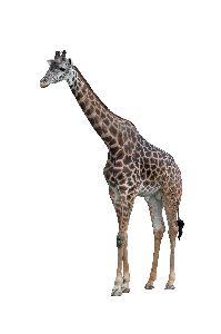 Masai Giraffe Or Kilimanjaro Giraffe