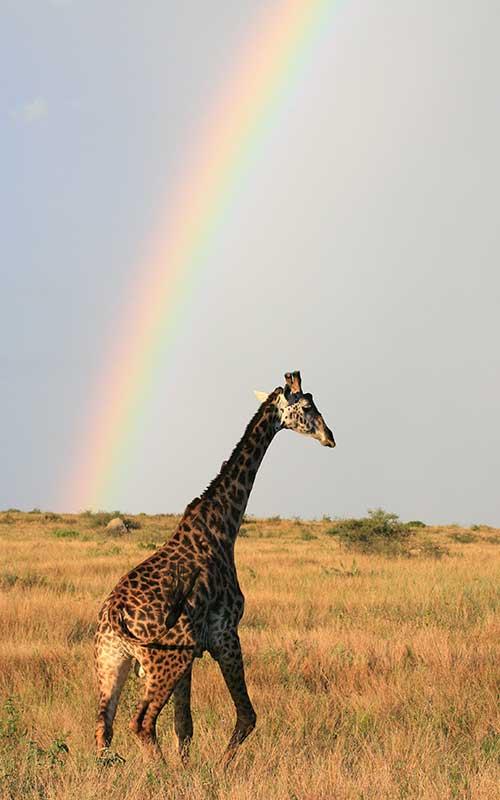 Maasai Giraffe or Kilimanjaro Giraffe.