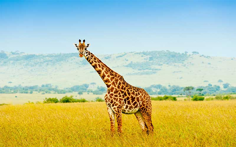 Masai Giraffe characteristics.