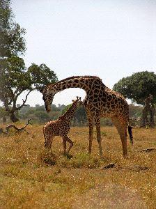 Mother Giraffe with Calf in the Masai Mara Park