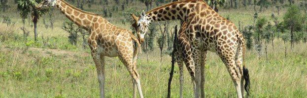 Northern Giraffe (Giraffa camelopardalis)