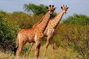 Pair of Giraffes in Africa
