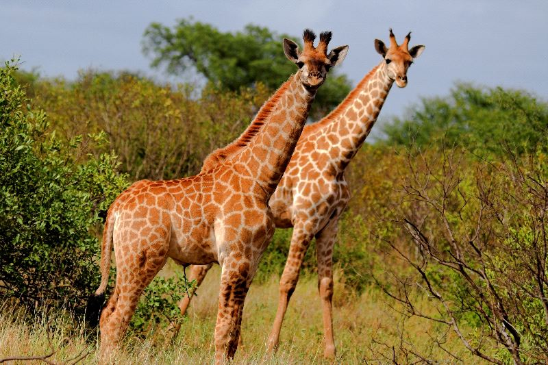 Pair of Giraffes in Africa
