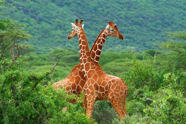 Amazing facts about Reticulated giraffes
