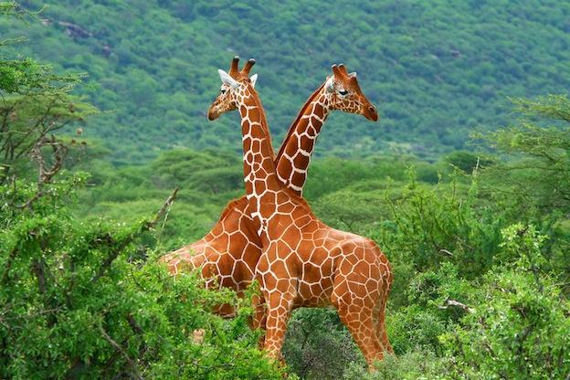 Características de la jirafa de Somalia.