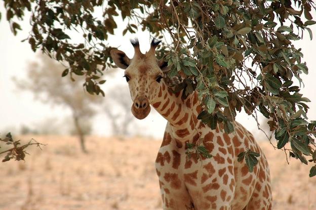 Características de la jirafa nigeriana.