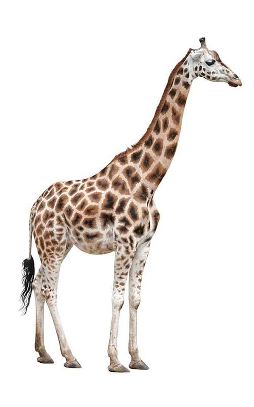 Baringo giraffe characteristics.