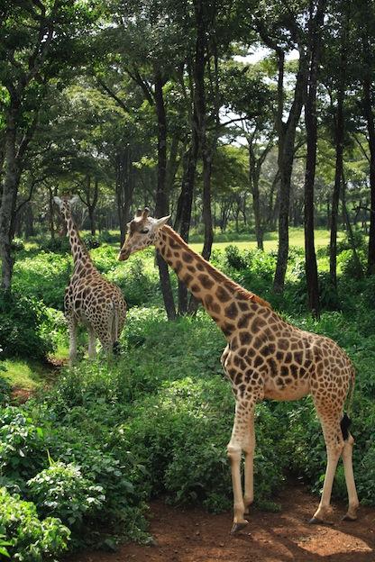 Características de la jirafa de Rothschild.