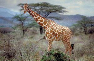 Somali Or Reticulated Giraffe