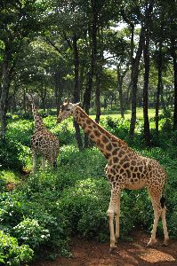 Two Giraffe Strolling