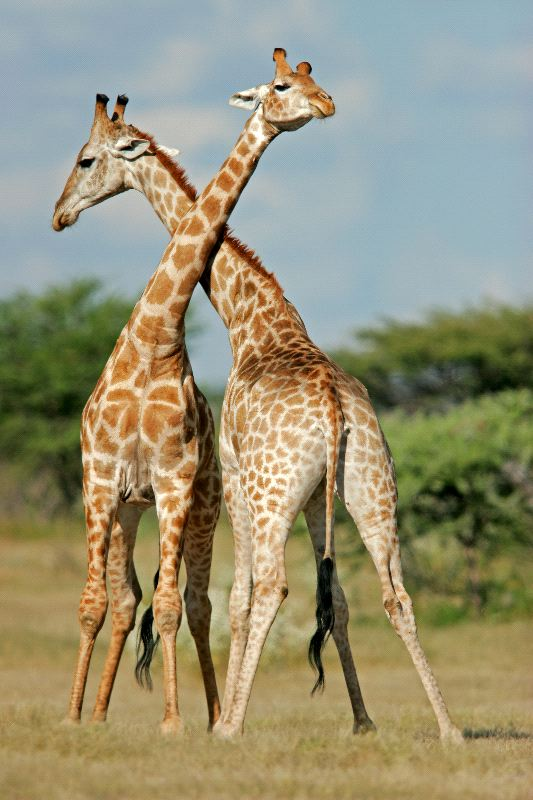 Two Male Giraffes Fighting