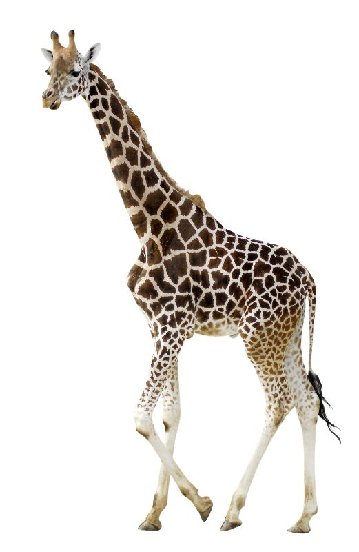 Young Giraffe on White Background