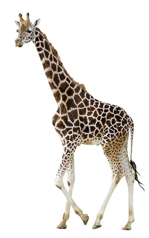 Giraffe Physical Characteristics.