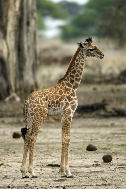 Information about Giraffe reproduction