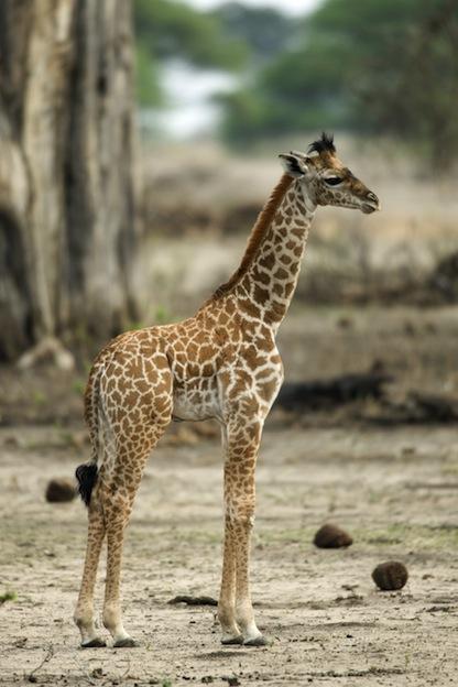 Hábitos reproductivos de las jirafas.