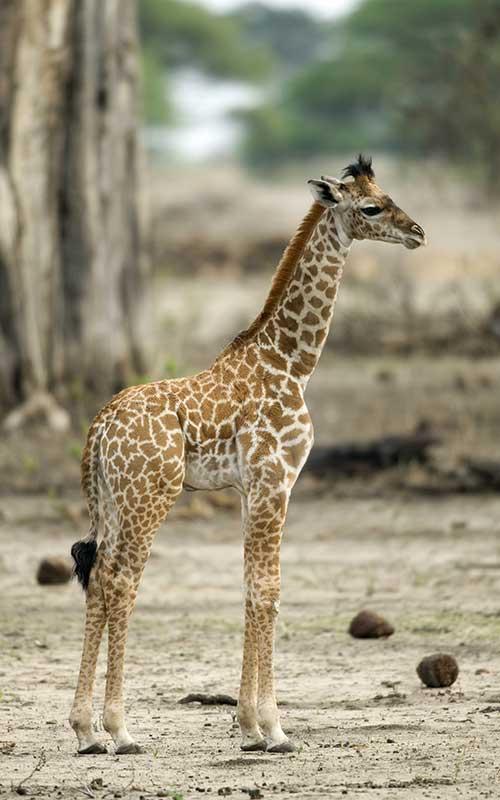Giraffe reproduction.