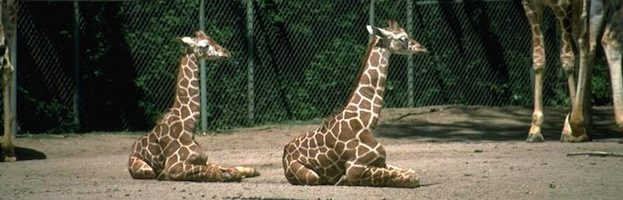 Giraffes in Captivity