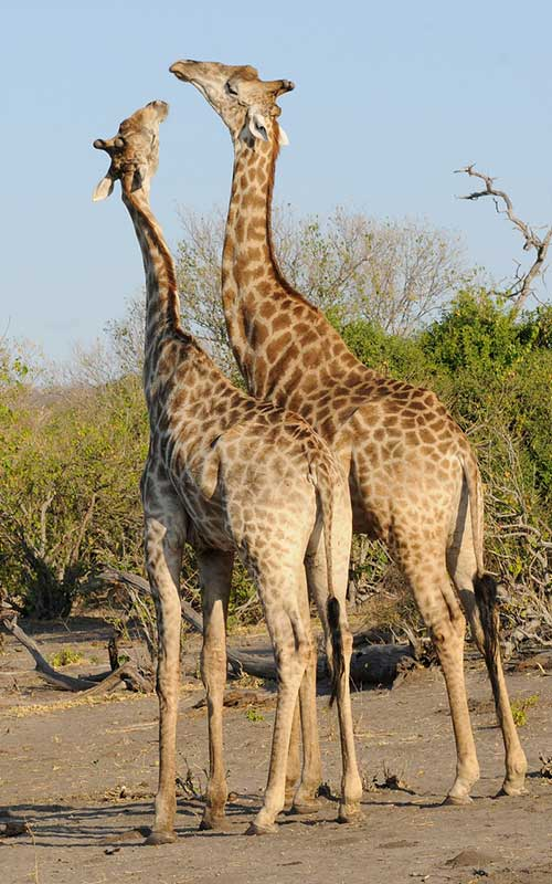 Giraffe vocalizations.