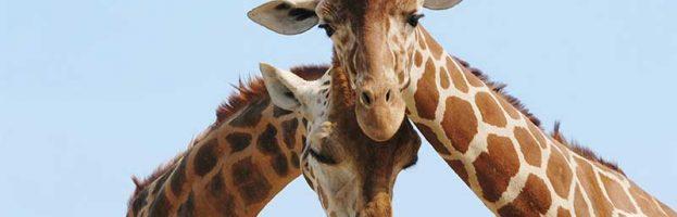 Giraffe Communication