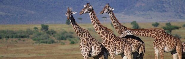 Giraffe Conservation