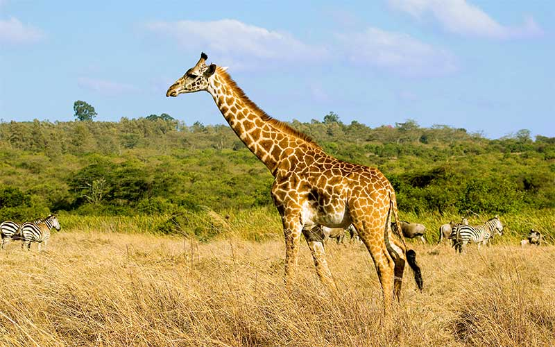 Where do giraffes live?