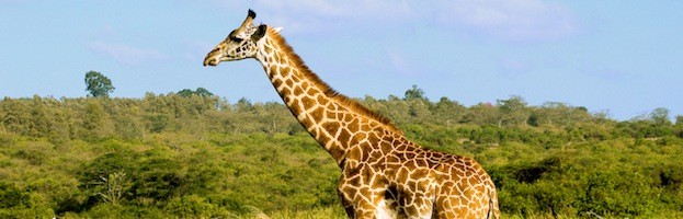 Facts about Giraffes
