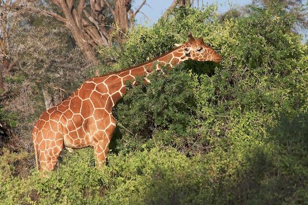 Hábitos alimenticios de las jirafas.