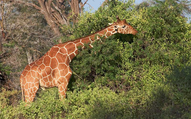 What do Giraffes Eat?