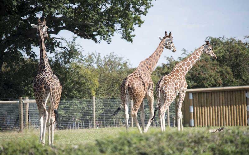 Giraffe preservation.