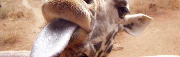 Giraffes in Captivity