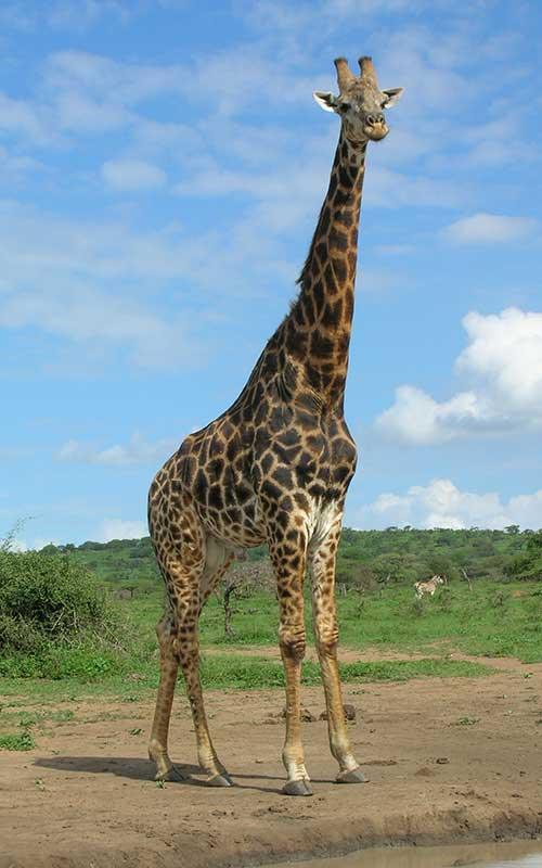 The neck of the giraffes.