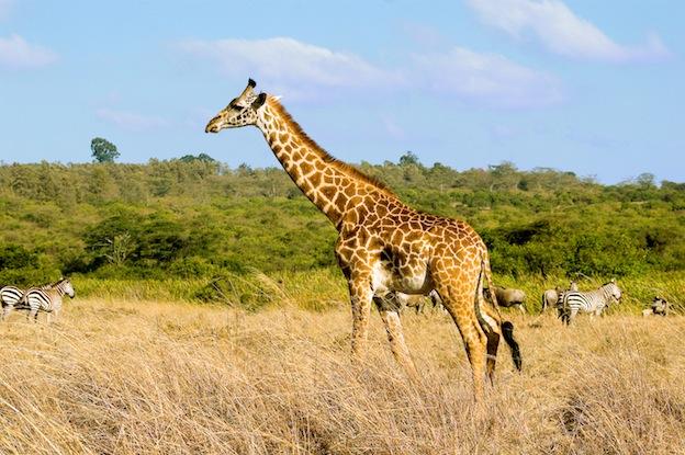 Distribución de las jirafas.