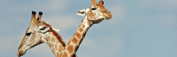 Humans and Giraffe